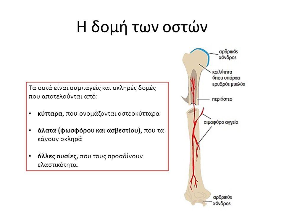 Η δομή των οστών Τα οστά είναι συμπαγείς και σκληρές δομές που αποτελούνται από: κύτταρα, που ονομάζονται οστεοκύτταρα άλατα (φωσφόρου και ασβεστίου), που τα κάνουν σκληρά άλλες ουσίες, που τους προσδίνουν ελαστικότητα.
