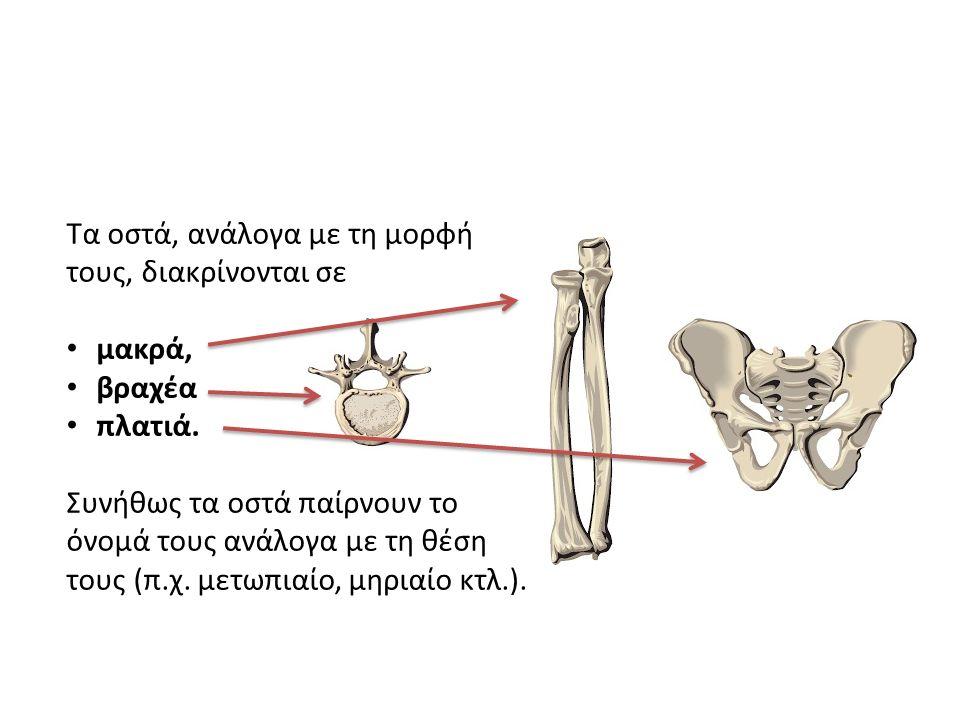 Τα οστά, ανάλογα με τη μορφή τους, διακρίνονται σε μακρά, βραχέα πλατιά. Συνήθως τα οστά παίρνουν το όνομά τους ανάλογα με τη θέση τους (π.χ. μετωπιαί