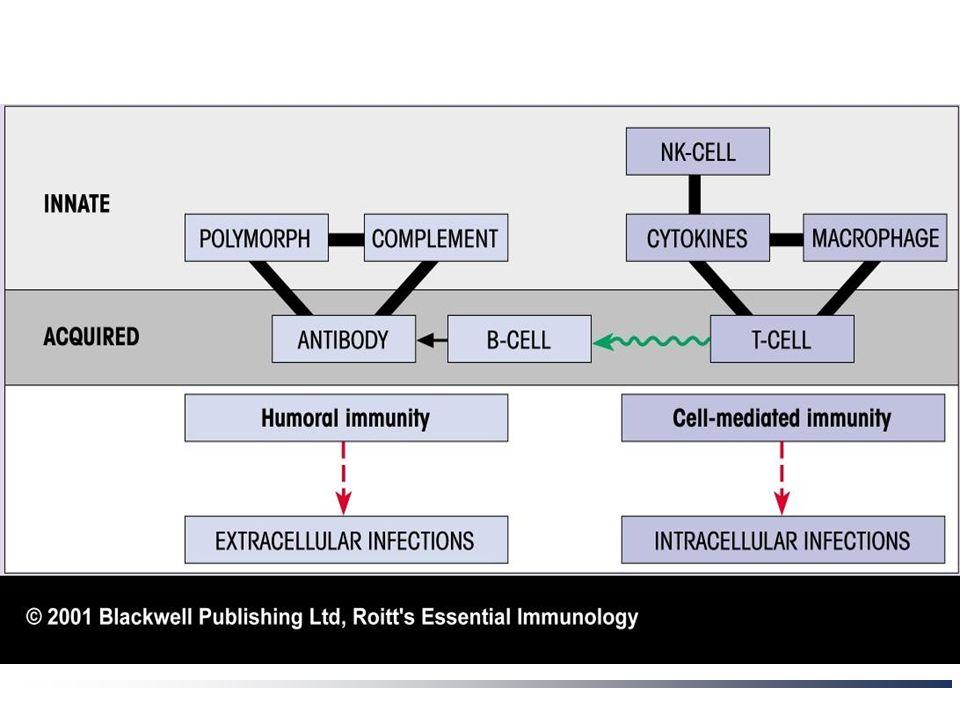 Φυσική ανοσία Άμεση ανοσία: επιθήλια (< = 4 ώρες)  Μηχανικοί φραγμοί: Ισχυρή σύνδεση επιθηλιακών κυττάρων Ροή αέρα (αεραγωγοί) και υγρών (ούρα)  Χημικοί φραγμοί: Λιπαρά οξέα (δέρμα) Ένζυμα: λυσοζύμη (σίελος, ιδρώτας) πεψίνη (έντερο) Χαμηλό pH (στόμαχος) Αντιμικροβιακά πεπτίδια Μικροβιακοί φραγμοί: ανταγωνισμός φ.χ.