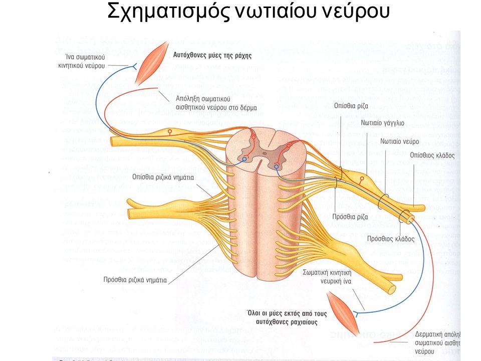 Σχηματισμός νωτιαίου νεύρου