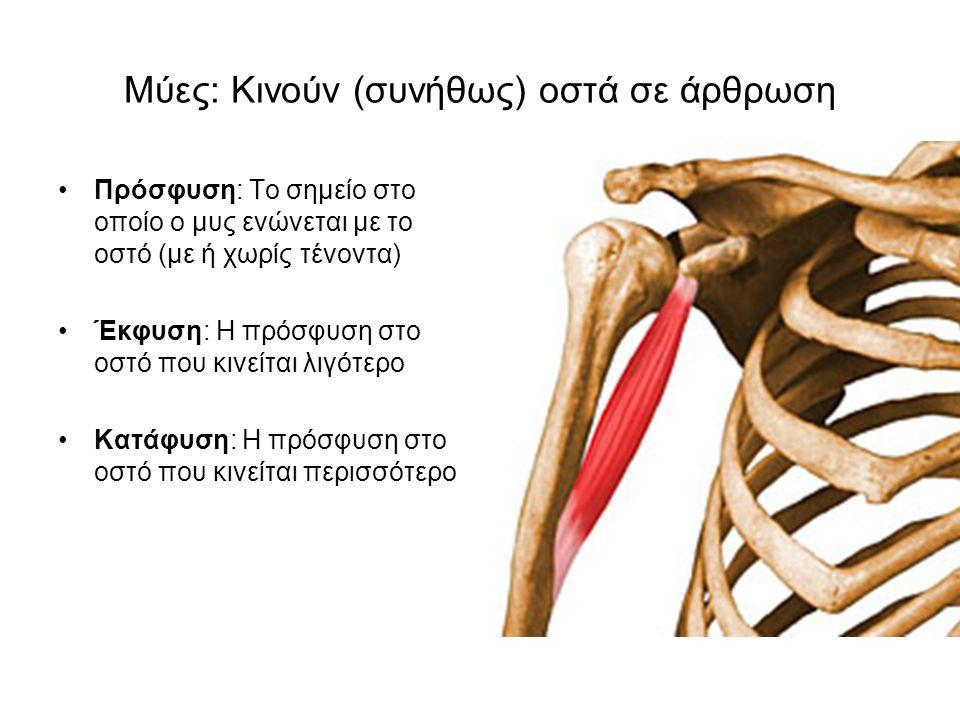 Μύες: Κινούν (συνήθως) οστά σε άρθρωση Πρόσφυση: Το σημείο στο οποίο ο μυς ενώνεται με το οστό (με ή χωρίς τένοντα) Έκφυση: Η πρόσφυση στο οστό που κινείται λιγότερο Κατάφυση: Η πρόσφυση στο οστό που κινείται περισσότερο