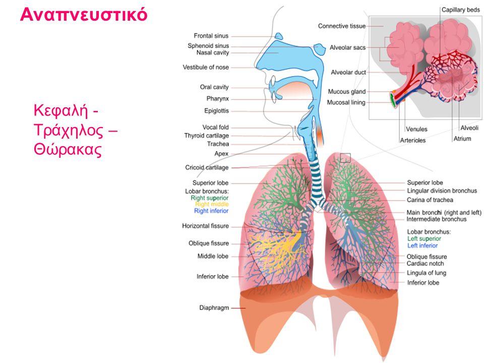 Αναπνευστικό Κεφαλή - Τράχηλος – Θώρακας