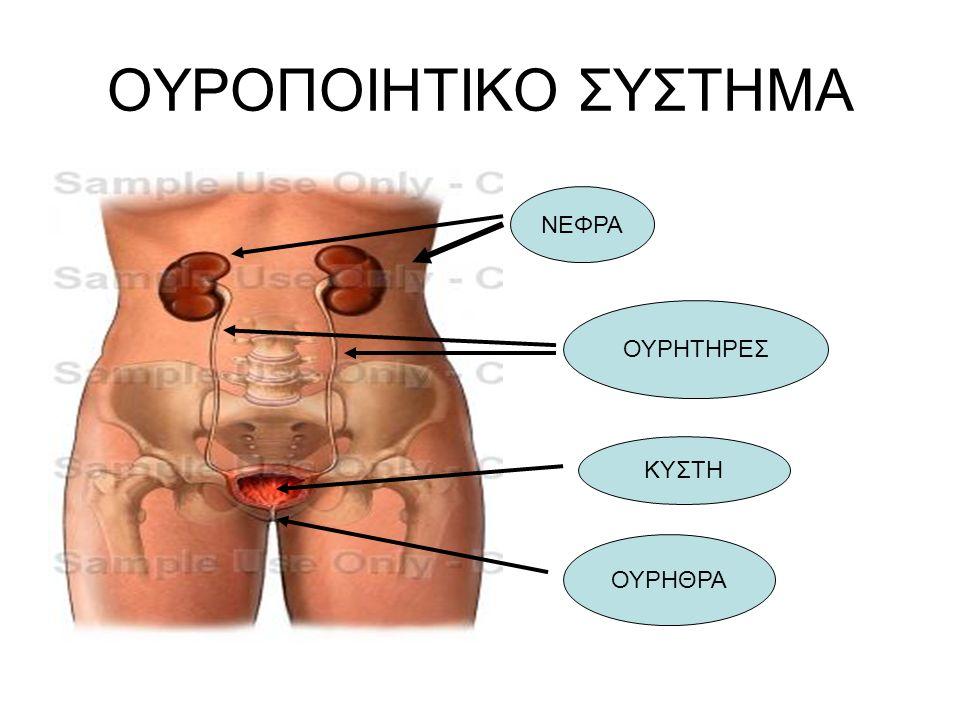 Εκκριτικό Τμήμα Εκκριτικό Τμήμα –Νεφροί Αποχετευτικό τμήμα Αποχετευτικό τμήμα –Νεφρικοί κάλυκες –Νεφρικές πύελοι –Ουρητήρες –Ουροδόχος κύστη –Ουρήθρα Ουροποιητικό Σύστημα