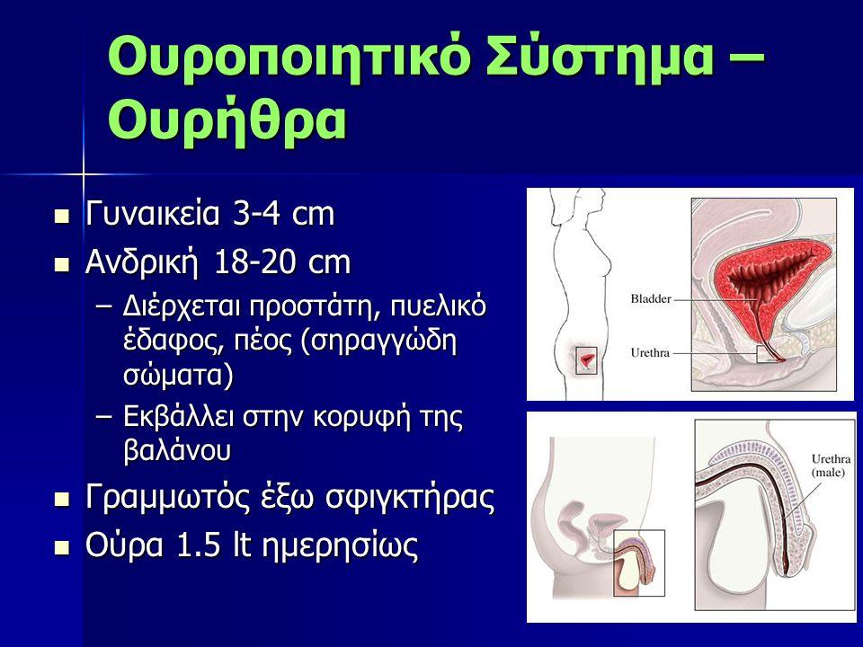Γυναικεία 3-4 cm Γυναικεία 3-4 cm Ανδρική 18-20 cm Ανδρική 18-20 cm –Διέρχεται προστάτη, πυελικό έδαφος, πέος (σηραγγώδη σώματα) –Εκβάλλει στην κορυφή της βαλάνου Γραμμωτός έξω σφιγκτήρας Γραμμωτός έξω σφιγκτήρας Ούρα 1.5 lt ημερησίως Ούρα 1.5 lt ημερησίως Ουροποιητικό Σύστημα – Ουρήθρα