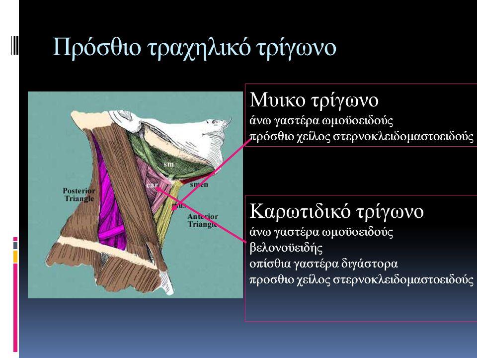 Πρόσθιο τραχηλικό τρίγωνο Μυικο τρίγωνο άνω γαστέρα ωμοϋοειδούς πρόσθιο χείλος στερνοκλειδομαστοειδούς Καρωτιδικό τρίγωνο άνω γαστέρα ωμοϋοειδούς βελονοϋειδής οπίσθια γαστέρα διγάστορα προσθιο χείλος στερνοκλειδομαστοειδούς
