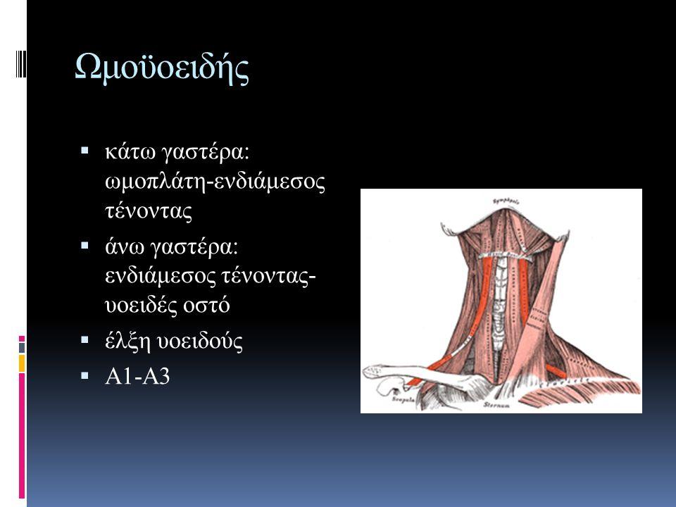 Ωμοϋοειδής  κάτω γαστέρα: ωμοπλάτη-ενδιάμεσος τένοντας  άνω γαστέρα: ενδιάμεσος τένοντας- υοειδές οστό  έλξη υοειδούς  Α1-Α3