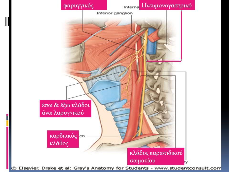 φαρυγγικόςΠνευμονογαστρικό έσω & έξω κλάδοι άνω λαρυγγικού καρδιακός κλάδος κλάδος καρωτιδικού σωματίου