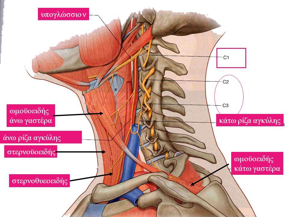 άνω ρίζα αγκύλης κάτω ρίζα αγκύλης υπογλώσσιο ν ωμοϋοειδής άνω γαστέρα στερνοϋοειδής στερνοθυεοειδής ωμοϋοειδής κάτω γαστέρα