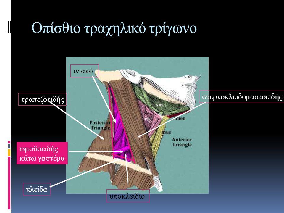 Οπίσθιο τραχηλικό τρίγωνο στερνοκλειδομαστοειδής τραπεζοειδής κλείδα ωμοϋοειδής κάτω γαστέρα υποκλείδιο ινιακό