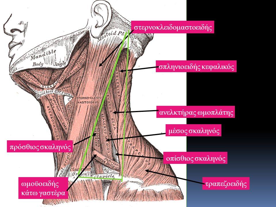 στερνοκλειδομαστοειδής ωμοϋοειδής κάτω γαστέρα τραπεζοειδής οπίσθιος σκαληνός μέσος σκαληνός πρόσθιος σκαληνός ανελκτήρας ωμοπλάτης σπληνιοειδής κεφαλικός