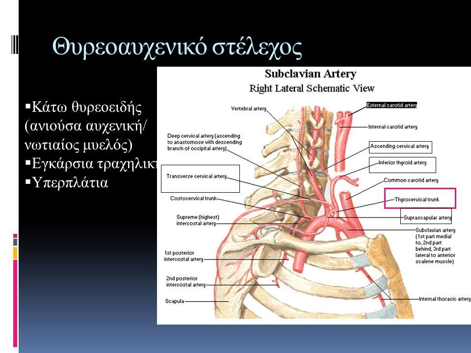 Θυρεοαυχενικό στέλεχος  Κάτω θυρεοειδής (ανιούσα αυχενική/ νωτιαίος μυελός)  Εγκάρσια τραχηλική  Υπερπλάτια