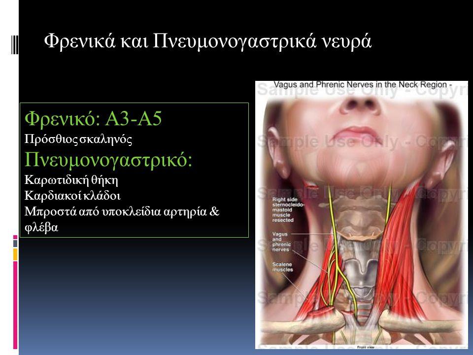 Φρενικά και Πνευμονογαστρικά νευρά Φρενικό: Α3-Α5 Πρόσθιος σκαληνός Πνευμονογαστρικό: Καρωτιδική θήκη Καρδιακοί κλάδοι Μπροστά από υποκλείδια αρτηρία & φλέβα