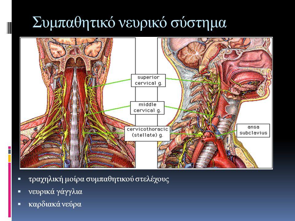 Συμπαθητικό νευρικό σύστημα  τραχηλική μοίρα συμπαθητικού στελέχους  νευρικά γάγγλια  καρδιακά νεύρα