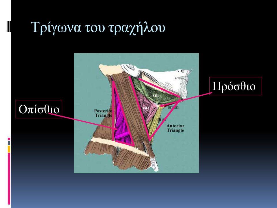 Τρίγωνα του τραχήλου Πρόσθιο Οπίσθιο