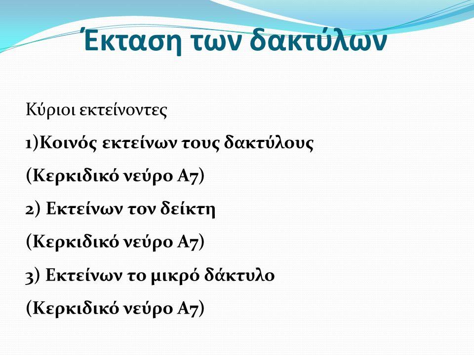 Έκταση των δακτύλων Κύριοι εκτείνοντες 1)Κοινός εκτείνων τους δακτύλους (Κερκιδικό νεύρο Α7) 2) Εκτείνων τον δείκτη (Κερκιδικό νεύρο Α7) 3) Εκτείνων το μικρό δάκτυλο (Κερκιδικό νεύρο Α7)