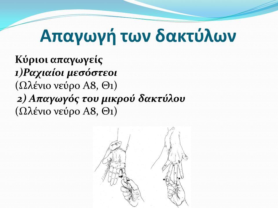 Απαγωγή των δακτύλων Κύριοι απαγωγείς 1)Ραχιαίοι μεσόστεοι (Ωλένιο νεύρο Α8, Θ1) 2) Απαγωγός του μικρού δακτύλου (Ωλένιο νεύρο Α8, Θ1)