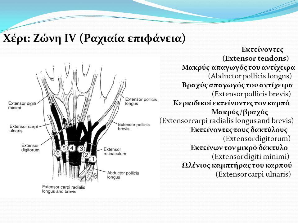 Χέρι: Ζώνη ΙV (Ραχιαία επιφάνεια) Εκτείνοντες (Extensor tendons) Μακρύς απαγωγός του αντίχειρα (Abductor pollicis longus) Βραχύς απαγωγός του αντίχειρα (Extensor pollicis brevis) Κερκιδικοί εκτείνοντες τον καρπό Μακρύς/βραχύς (Extensor carpi radialis longus and brevis) Εκτείνοντες τους δακτύλους (Extensor digitorum) Εκτείνων τον μικρό δάκτυλο (Extensor digiti minimi) Ωλένιος καμπτήρας του καρπού (Extensor carpi ulnaris)