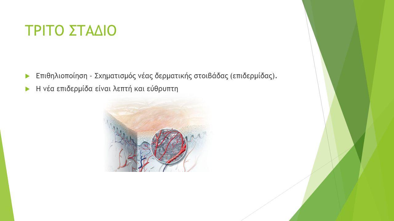 ΤΡΙΤΟ ΣΤΑΔΙΟ  Επιθηλιοποίηση - Σχηματισμός νέας δερματικής στοιβάδας (επιδερμίδας).  Η νέα επιδερμίδα είναι λεπτή και εύθρυπτη