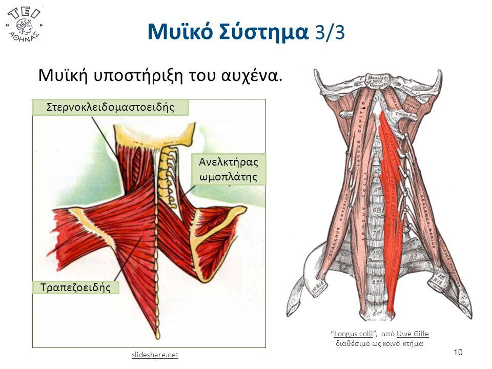 Μυϊκό Σύστημα 3/3 10 Μυϊκή υποστήριξη του αυχένα.