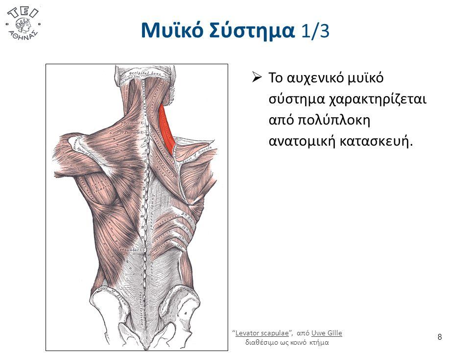 Μυϊκό Σύστημα 2/3  Οι μύες του αυχένα, περισσότερα από είκοσι ζευγάρια, ενεργούν με ξεχωριστή ακρίβεια σε διάφορες κατευθύνσεις, φροντίζουν τον στατικό και δυναμικό έλεγχο της κεφαλής και της αυχενικής μοίρας της σπονδυλικής στήλης.