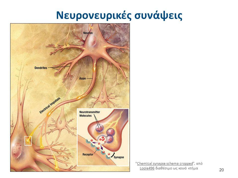 "20 ""Chemical synapse schema cropped"", από Looie496 διαθέσιμο ως κοινό κτήμαChemical synapse schema cropped Looie496 Νευρονευρικές συνάψεις"