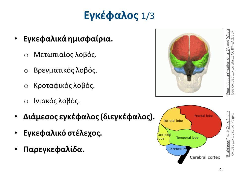 Εγκέφαλος 1/3 Εγκεφαλικά ημισφαίρια. o Μετωπιαίος λοβός. o Βρεγματικός λοβός. o Κροταφικός λοβός. o Ινιακός λοβός. Διάμεσος εγκέφαλος (διεγκέφαλος). Ε