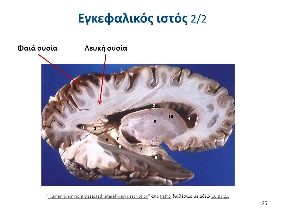"""Εγκεφαλικός ιστός 2/2 25 Φαιά ουσίαΛευκή ουσία """"Human brain right dissected lateral view description"""" από Patho διαθέσιμο με άδεια CC BY 2.5Human brai"""