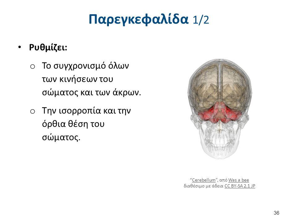 """Ρυθμίζει: o Το συγχρονισμό όλων των κινήσεων του σώματος και των άκρων. o Την ισορροπία και την όρθια θέση του σώματος. 36 Παρεγκεφαλίδα 1/2 """"Cerebell"""