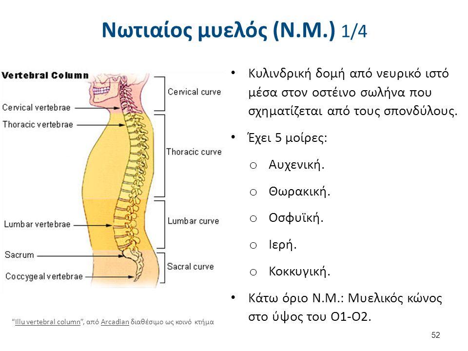 Νωτιαίος μυελός (Ν.Μ.) 1/4 Κυλινδρική δομή από νευρικό ιστό μέσα στον οστέινο σωλήνα που σχηματίζεται από τους σπονδύλους. Έχει 5 μοίρες: o Αυχενική.