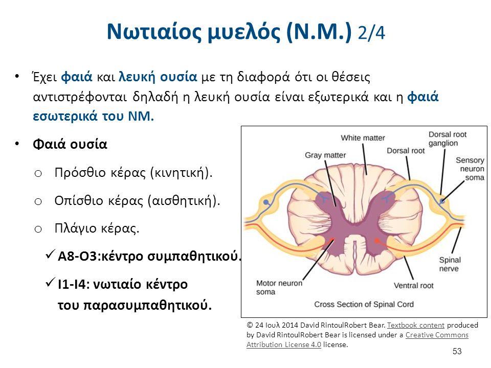 Νωτιαίος μυελός (Ν.Μ.) 2/4 Έχει φαιά και λευκή ουσία με τη διαφορά ότι οι θέσεις αντιστρέφονται δηλαδή η λευκή ουσία είναι εξωτερικά και η φαιά εσωτερικά του ΝΜ.