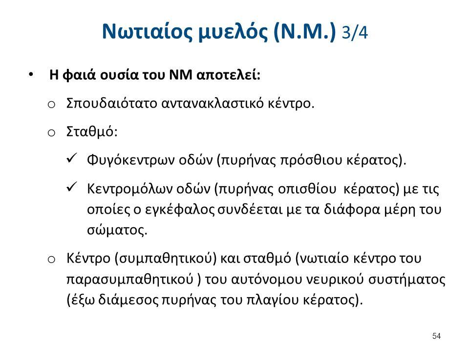Νωτιαίος μυελός (Ν.Μ.) 3/4 Η φαιά ουσία του ΝΜ αποτελεί: o Σπουδαιότατο αντανακλαστικό κέντρο. o Σταθμό: Φυγόκεντρων οδών (πυρήνας πρόσθιου κέρατος).