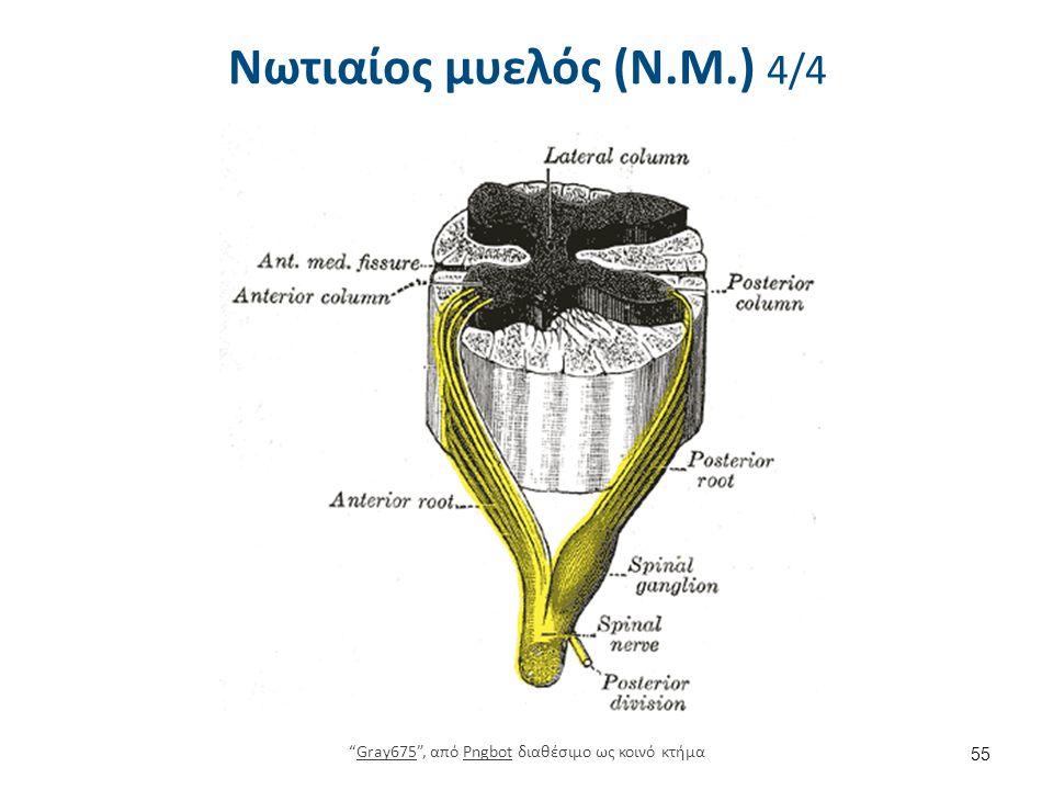 """Νωτιαίος μυελός (Ν.Μ.) 4/4 55 """"Gray675"""", από Pngbot διαθέσιμο ως κοινό κτήμαGray675Pngbot"""