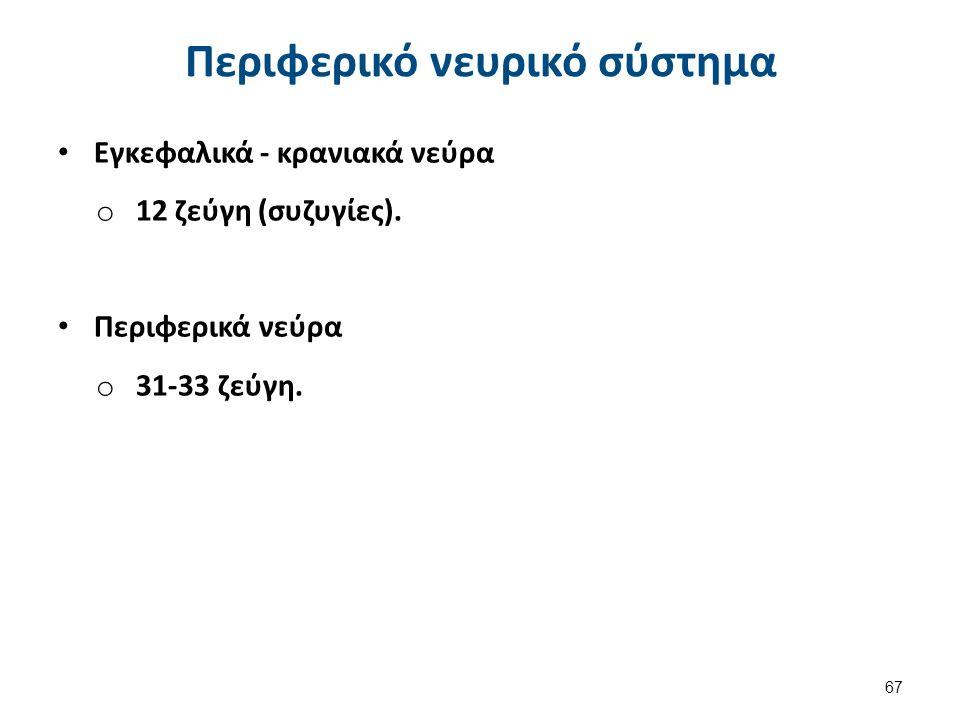 Εγκεφαλικά - κρανιακά νεύρα o 12 ζεύγη (συζυγίες). Περιφερικά νεύρα o 31-33 ζεύγη. 67 Περιφερικό νευρικό σύστημα