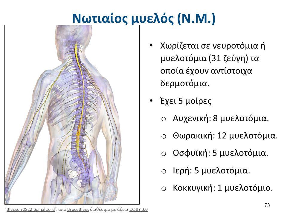 Νωτιαίος μυελός (Ν.Μ.) Χωρίζεται σε νευροτόμια ή μυελοτόμια (31 ζεύγη) τα οποία έχουν αντίστοιχα δερμοτόμια. Έχει 5 μοίρες o Αυχενική: 8 μυελοτόμια. o