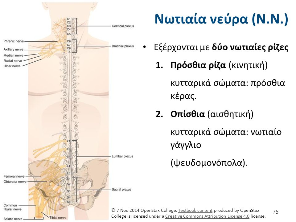 Εξέρχονται με δύο νωτιαίες ρίζες 1.Πρόσθια ρίζα (κινητική) κυτταρικά σώματα: πρόσθια κέρας. 2.Οπίσθια (αισθητική) κυτταρικά σώματα: νωτιαίο γάγγλιο (ψ