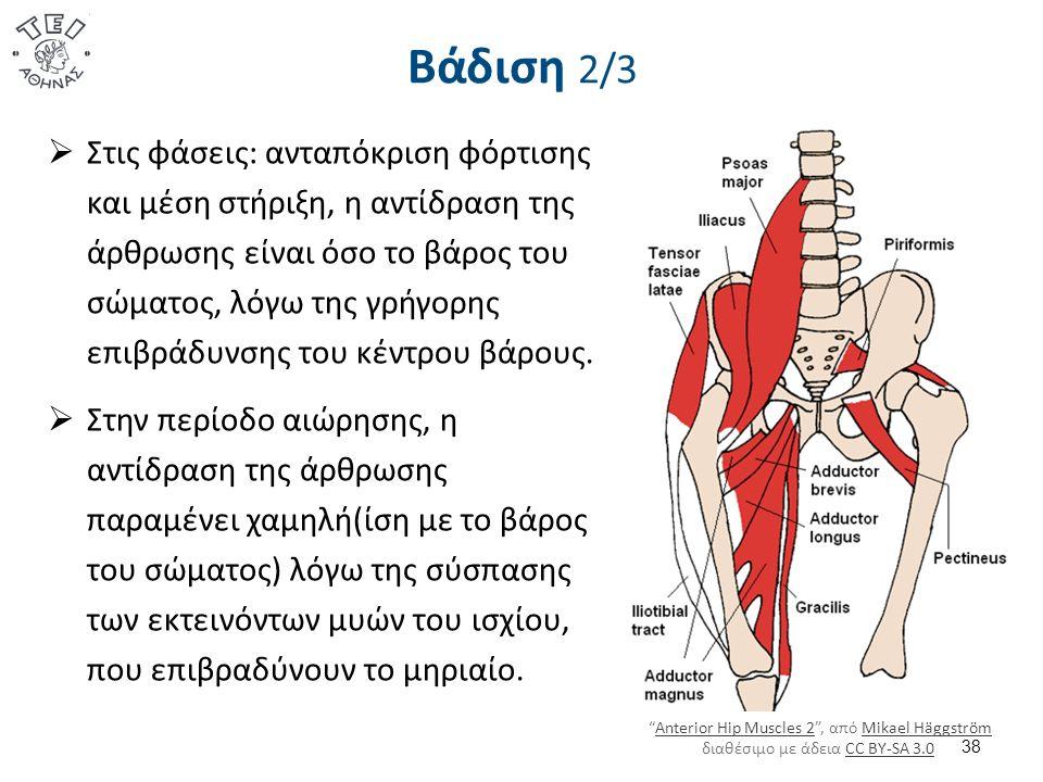 Βάδιση 2/3  Στις φάσεις: ανταπόκριση φόρτισης και μέση στήριξη, η αντίδραση της άρθρωσης είναι όσο το βάρος του σώματος, λόγω της γρήγορης επιβράδυνσης του κέντρου βάρους.