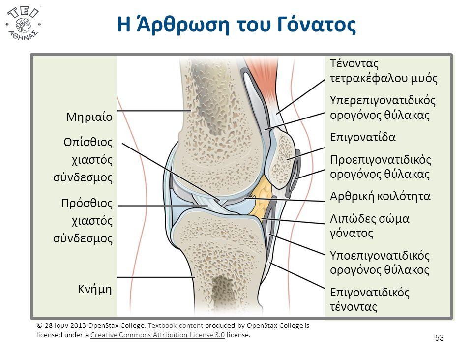 Η Άρθρωση του Γόνατος 53 Τένοντας τετρακέφαλου μυός Υπερεπιγονατιδικός ορογόνος θύλακας Επιγονατίδα Προεπιγονατιδικός ορογόνος θύλακας Αρθρική κοιλότητα Λιπώδες σώμα γόνατος Υποεπιγονατιδικός ορογόνος θύλακος Επιγονατιδικός τένοντας Μηριαίο Οπίσθιος χιαστός σύνδεσμος Πρόσθιος χιαστός σύνδεσμος Κνήμη © 28 Ιουν 2013 OpenStax College.