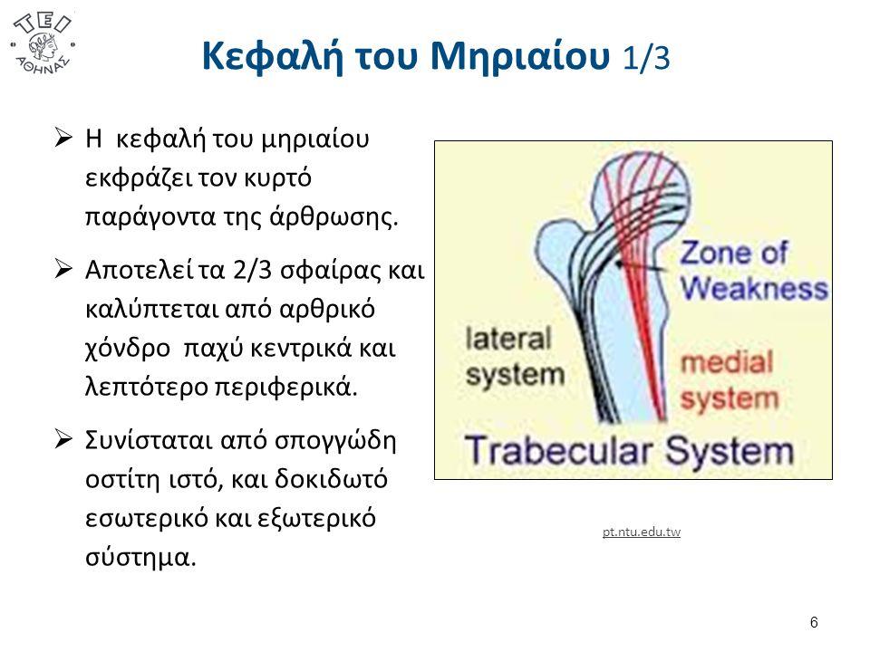 Κεφαλή του Μηριαίου 2/3  Το έξω δοκιδωτό σύστημα ανθίσταται στις συμπιεστικές δυνάμεις, που ασκούνται στη μηριαία κεφαλή και αναπτύσσονται από την σύσπαση των απαγωγών μυών ( μέσος-μικρός γλουτιαίος, τείνων την πλατεία περιτονία ).