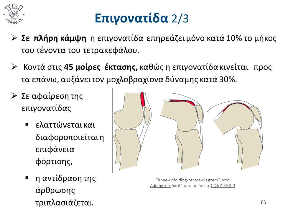 Επιγονατίδα 2/3  Σε πλήρη κάμψη η επιγονατίδα επηρεάζει μόνο κατά 10% το μήκος του τένοντα του τετρακεφάλου.
