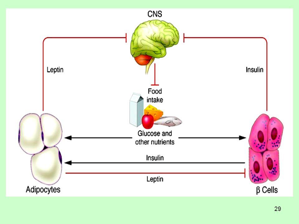 30 Ινσουλίνη και Λεπτίνη Tα χαρακτηριστικά των 2 αυτών ορμονών που τους δίνουν την ιδιότητα της ορμονικής έκφρασης του λιπώδους ιστού είναι: 1).