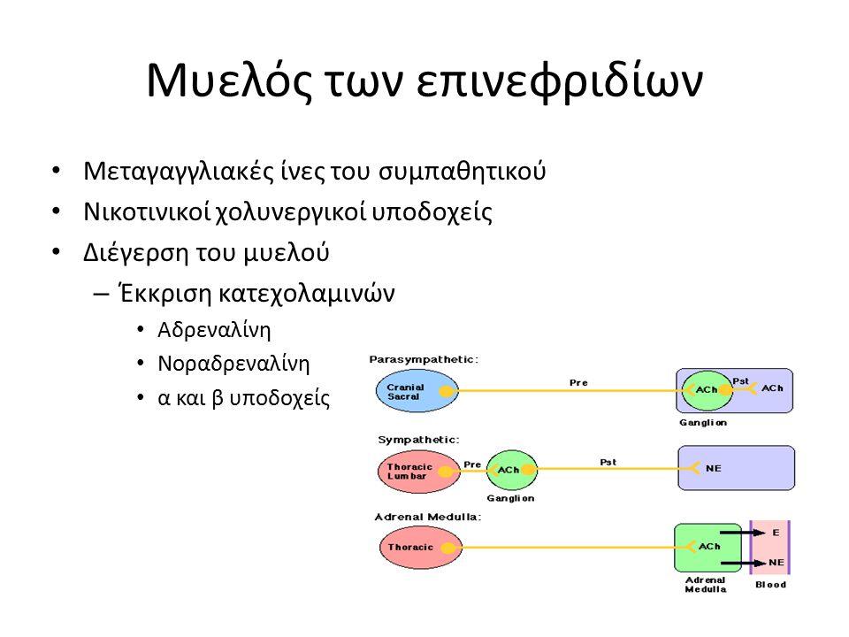 Μυελός των επινεφριδίων Μεταγαγγλιακές ίνες του συμπαθητικού Νικοτινικοί χολυνεργικοί υποδοχείς Διέγερση του μυελού – Έκκριση κατεχολαμινών Αδρεναλίνη Νοραδρεναλίνη α και β υποδοχείς