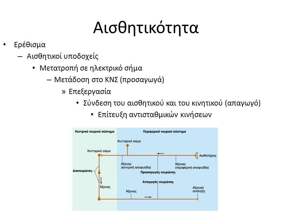 Αισθητικότητα Ερέθισμα – Αισθητικοί υποδοχείς Μετατροπή σε ηλεκτρικό σήμα – Μετάδοση στο ΚΝΣ (προσαγωγά) » Επεξεργασία Σύνδεση του αισθητικού και του