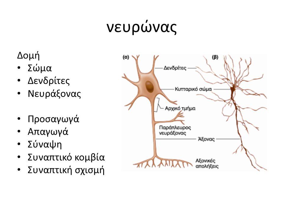 νευρώνας Δομή Σώμα Δενδρίτες Νευράξονας Προσαγωγά Απαγωγά Σύναψη Συναπτικό κομβία Συναπτική σχισμή