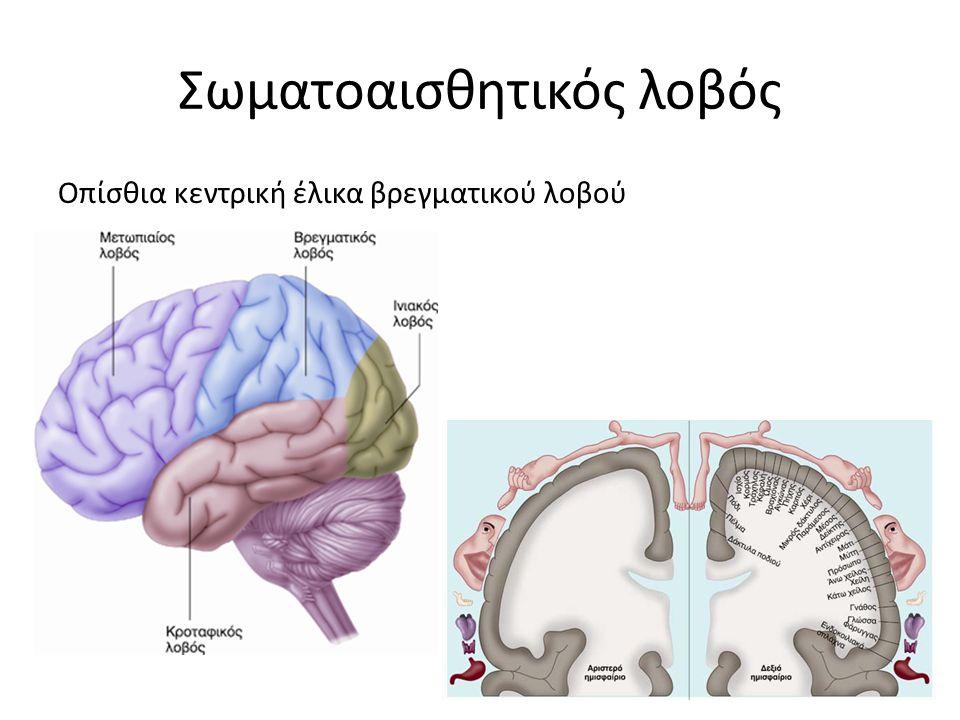 Σωματοαισθητικός λοβός Οπίσθια κεντρική έλικα βρεγματικού λοβού