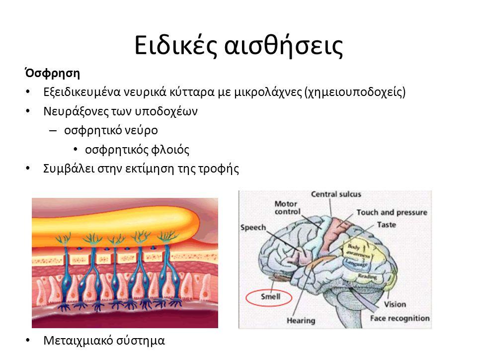 Ειδικές αισθήσεις Όσφρηση Εξειδικευμένα νευρικά κύτταρα με μικρολάχνες (χημειουποδοχείς) Νευράξονες των υποδοχέων – οσφρητικό νεύρο οσφρητικός φλοιός Συμβάλει στην εκτίμηση της τροφής Μεταιχμιακό σύστημα