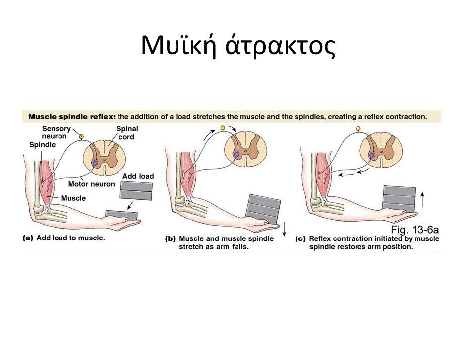 Μυϊκή άτρακτος