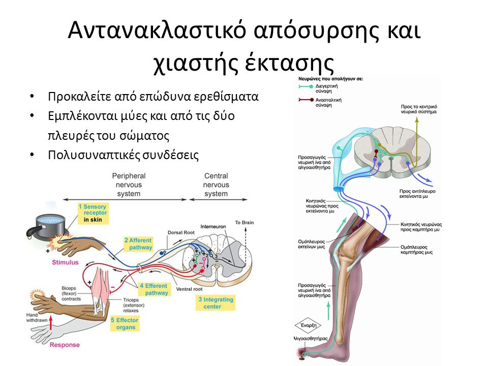 Αντανακλαστικό απόσυρσης και χιαστής έκτασης Προκαλείτε από επώδυνα ερεθίσματα Εμπλέκονται μύες και από τις δύο πλευρές του σώματος Πολυσυναπτικές συνδέσεις