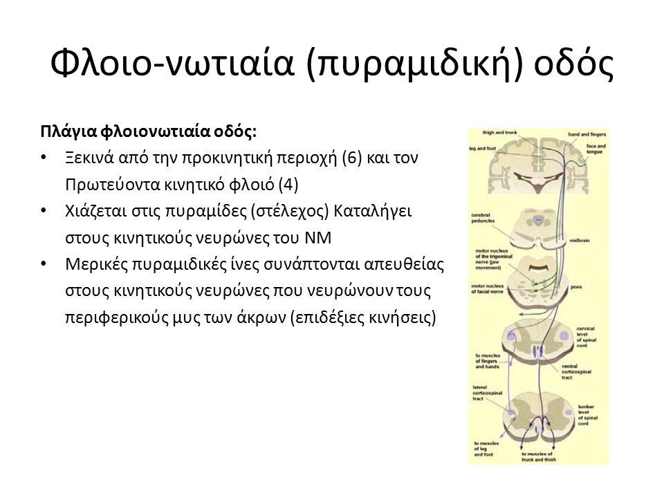 Φλοιο-νωτιαία (πυραμιδική) οδός Πλάγια φλοιονωτιαία οδός: Ξεκινά από την προκινητική περιοχή (6) και τον Πρωτεύοντα κινητικό φλοιό (4) Χιάζεται στις πυραμίδες (στέλεχος) Καταλήγει στους κινητικούς νευρώνες του ΝΜ Μερικές πυραμιδικές ίνες συνάπτονται απευθείας στους κινητικούς νευρώνες που νευρώνουν τους περιφερικούς μυς των άκρων (επιδέξιες κινήσεις)