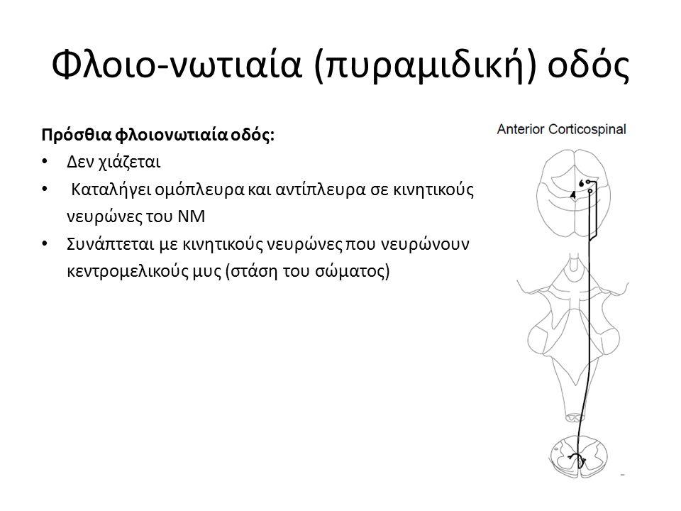 Φλοιο-νωτιαία (πυραμιδική) οδός Πρόσθια φλοιονωτιαία οδός: Δεν χιάζεται Καταλήγει ομόπλευρα και αντίπλευρα σε κινητικούς νευρώνες του ΝΜ Συνάπτεται με κινητικούς νευρώνες που νευρώνουν κεντρομελικούς μυς (στάση του σώματος)