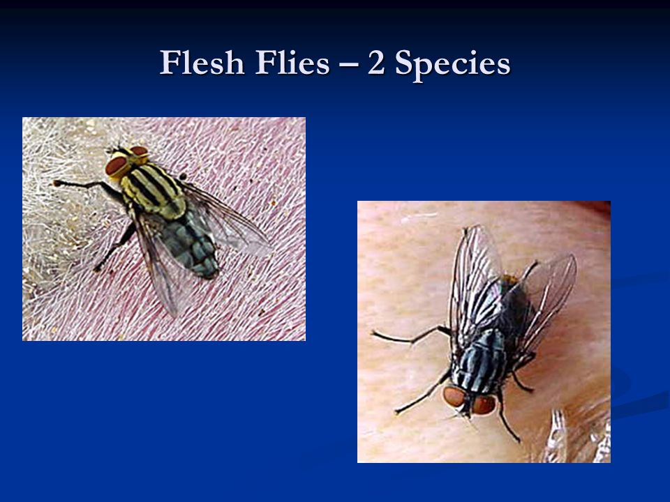 Flesh Flies – 2 Species